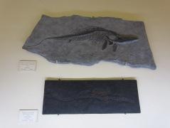 Cocodrilo e ictosaurio: ¿monstruos marinos?