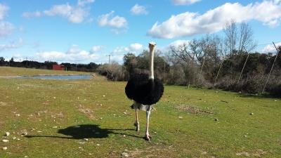 Un curioso y rápido avestruz