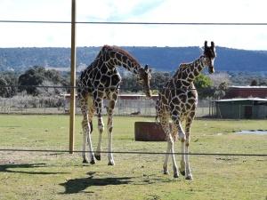 Una pareja de elegantes jirafas
