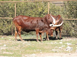 Los watussi y su larga cornamenta