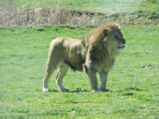 El Rey de los Reyes, el Señor de la Silva, Su Majestad el León