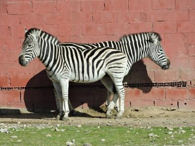 ¿Una pareja de zebras o una zebra bicéfala?