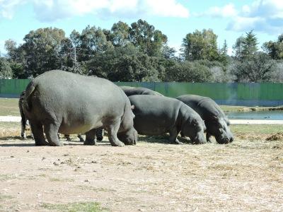 Unos voluminosos y peligrosos hipopótamos
