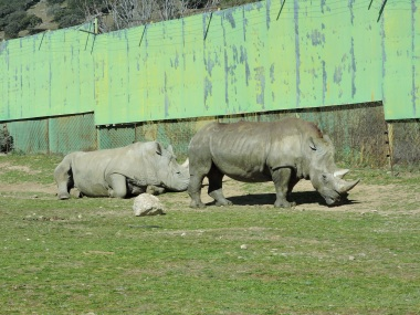 Unos rinocerontes con el típico cuerno de queratina no curativa
