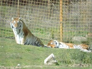 Los carnívoros tigres del Bengala