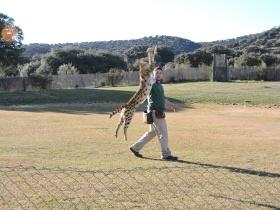 El cerval y sus espectaculares saltos verticales