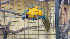 El simpático gucamayo azul