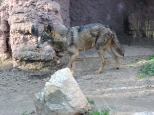 Un lobo nervioso y hambriento