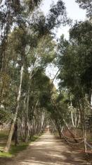 Bosque de eucaliptos