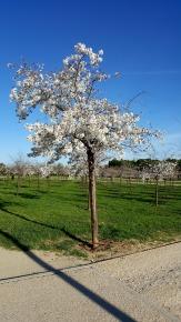 Cerezos japoneses florecidos